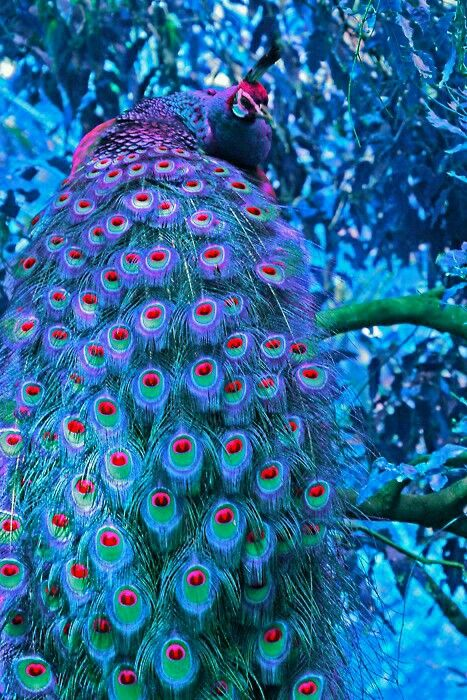 Blue and pink Peacock