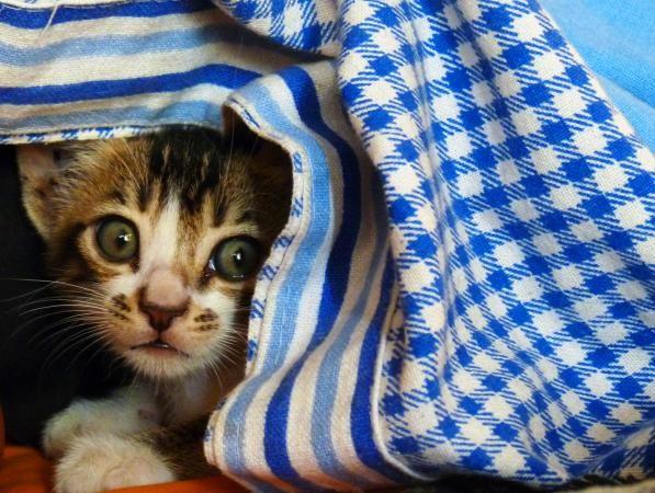 Reassuring A Kitten That Won T Come Out Of Hiding Lovetoknow In 2020 Cat Having Kittens Cat Has Fleas Bengal Kitten