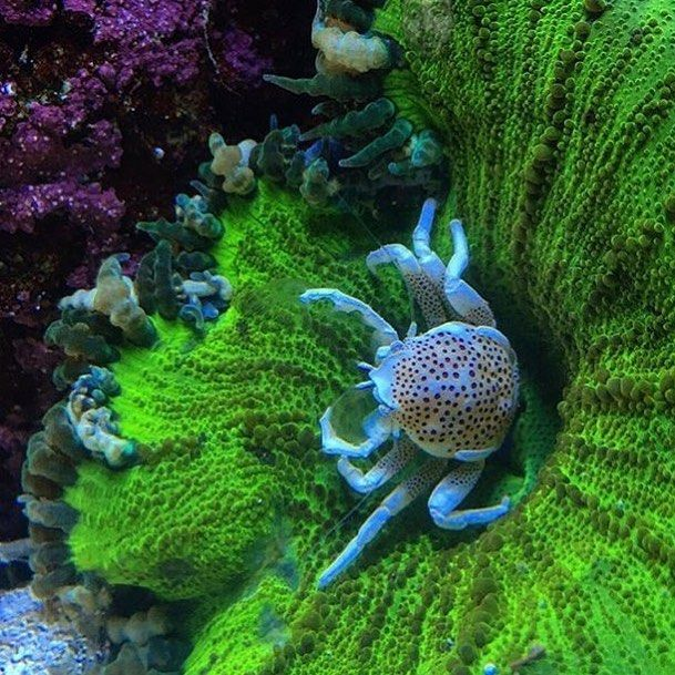 Porcelain crab pictures are awesome @new0cean #reefpro #polyplab