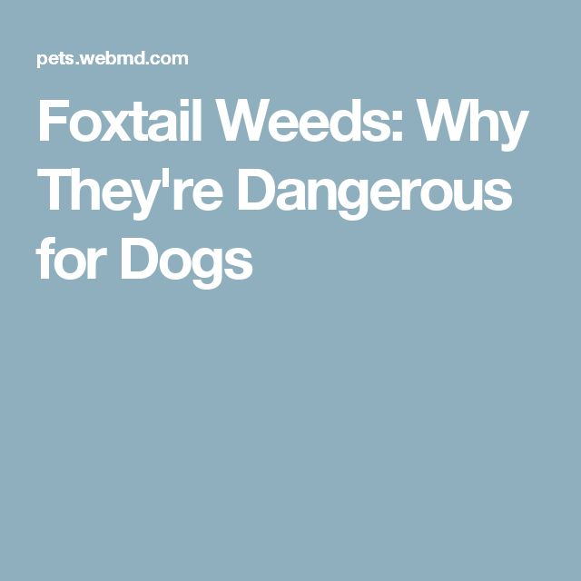 Foxtail Weeds: Why They're Dangerous for Dogs