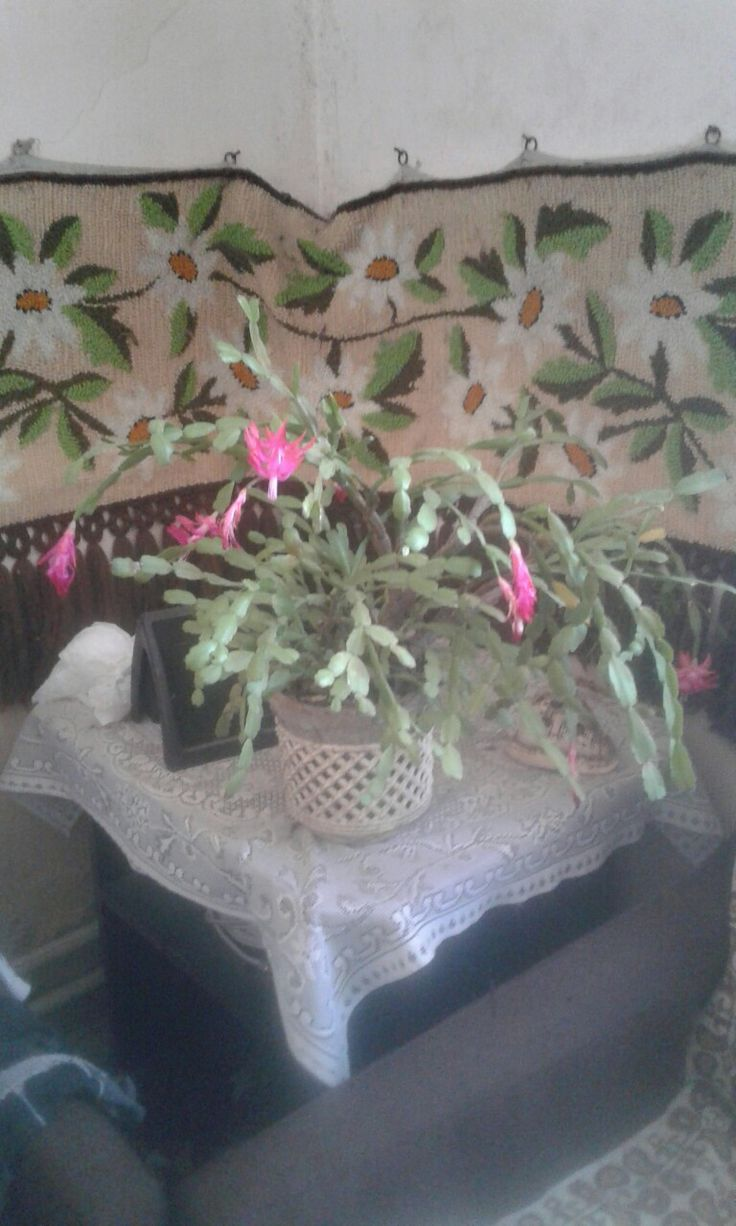 Fiam szobájába még virágzik a karácsonyi kaktusz