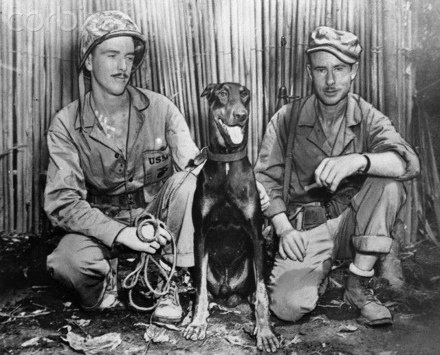 "Original caption: ""Andy"", a devil dog (Doberman Pinscher) that is jungle trained, pointed out two strong Japanese machine gun nests at the junction of Piva and Numa-Numa trails, Bougainville; Pvc. Robert E. Lansley (left), Syracus, New York, and First Lt. Clyde A. Henderson, Brecksville, Ohio, Commander, Dog Platoon."
