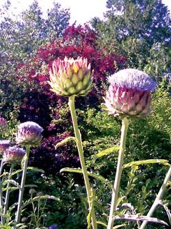 Artichoke plants, Ballard Locks-Carl English Botanical Gardens, Seattle