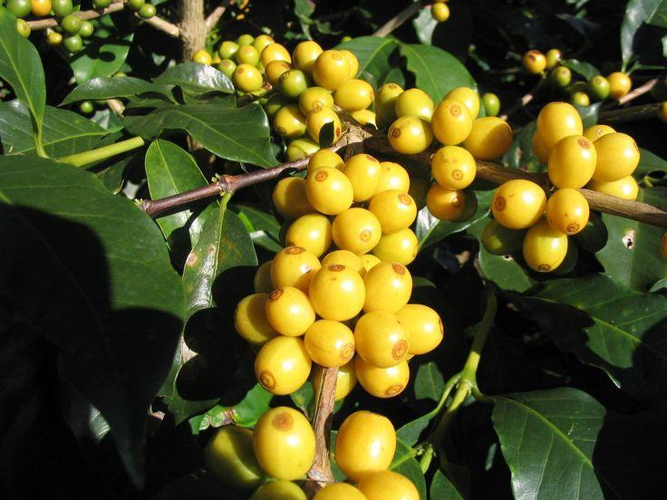 """Résultat de recherche d'images pour """"café yellow bourbon"""""""