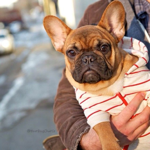 Pin By Suzanne Medway On Cuties French Bulldog Puppies French