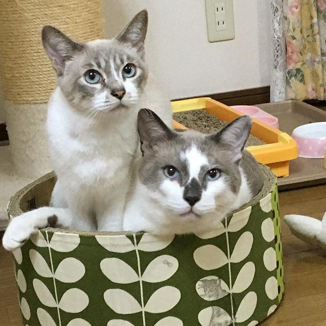 可愛い💞 バイト先の方に貰った手作り爪とぎ🐾 取り合いだね(ΦωΦ)  #猫カフェ #バイト #爪とぎ #ミケ #トロ #家猫 #愛猫 #ねこ #猫 #ネコ #cat #ねこ部 #ねこあつめ #ねこのきもち #にゃんすたぐらむ #kitty #かわいい #癒し