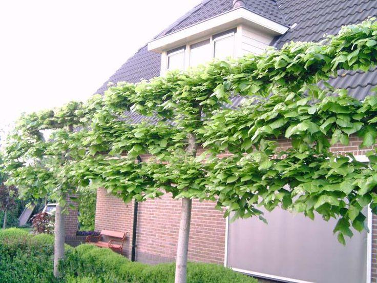 http://www.bomenonline.nl/Leilinde_in_tuin