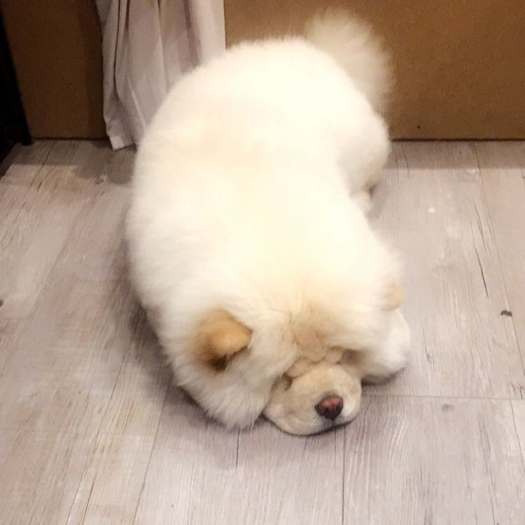 I Want To Cuddle With You Quotes: 1000+ Ideas About Cute Fluffy Dogs On Pinterest