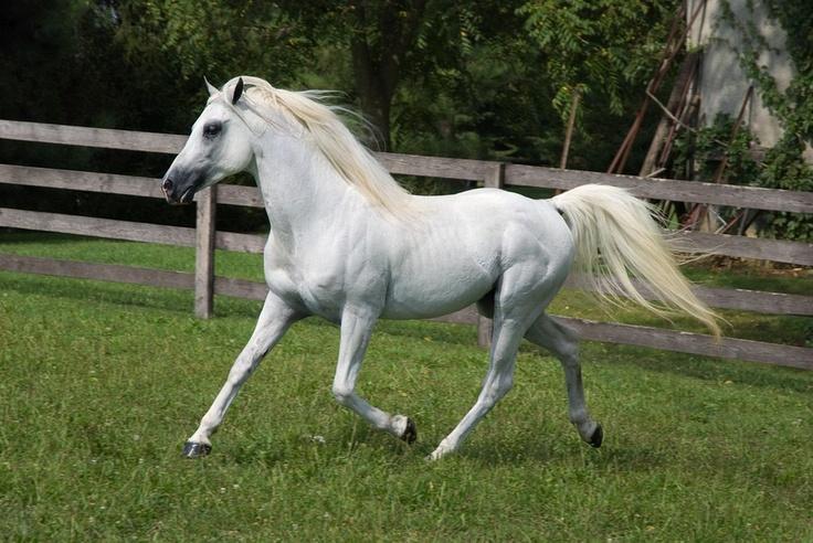 White arabian horse - photo#2