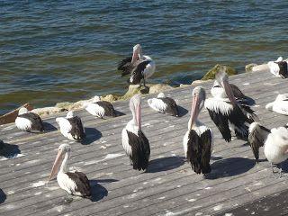 Pelicans in Kingscote, Kangaroo Island, Australia, South Australia