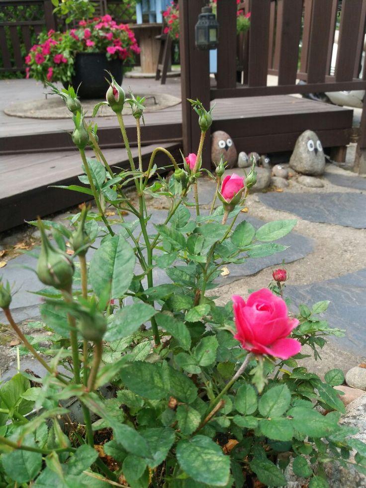 Äitienpäiväruusu päätti alkaa kukoistaan kesän viime hetkillä