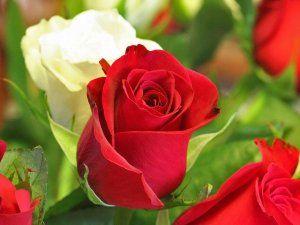 Hermosas rosas rojas y blancas