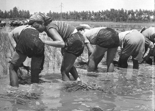 1951: One of the women working in a north Italian rice field rests against a friend. #Italian #rice
