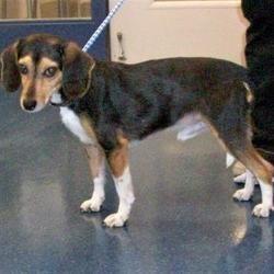 Fairfax Station, Virginia - Beagle. Meet Arctic, a for adoption. https://www.adoptapet.com/pet/20878895-fairfax-station-virginia-beagle-mix