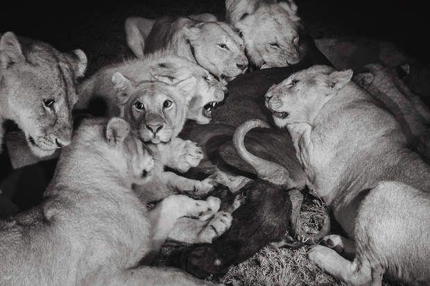 Un gnou au dînerLes grands lionceaux du groupe Vumbi et une femelle adulte (cinquième à partir de la gauche) dévorent un gnou. Les nuits sans lune sont idéales pour la chasse car les félins voient alors mieux que leurs proies. Ces photographies en noir et blanc ont été réalisées en lumière infrarouge.
