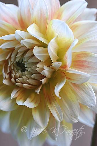 Dahlia 'Peaches n Cream2'