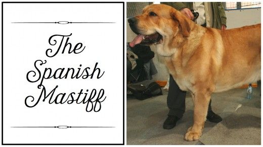Breaking Down the Mastiff Breeds | PetHelpful