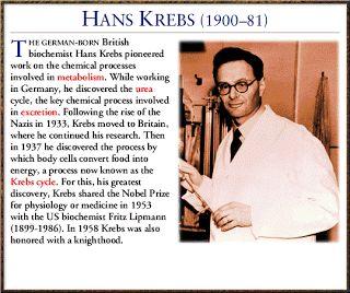 Hans Krebs- the man behind the Krebs cycle (citric acid cycle).