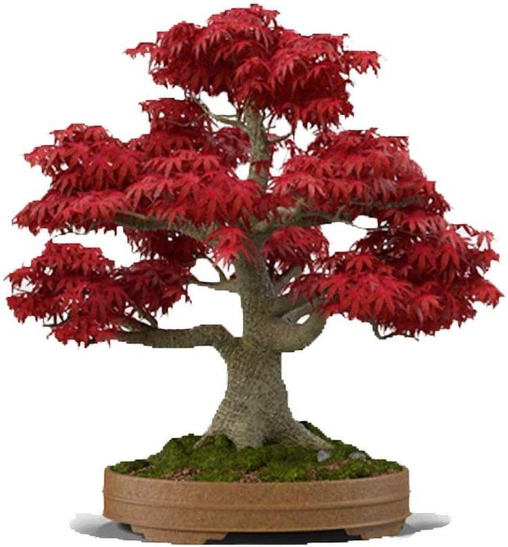Japanese Red Maple Bonsai Tree 20 Seeds Acer Palmatum Real Etsy In 2021 Red Maple Bonsai Bonsai Trees For Sale Maple Tree Seeds