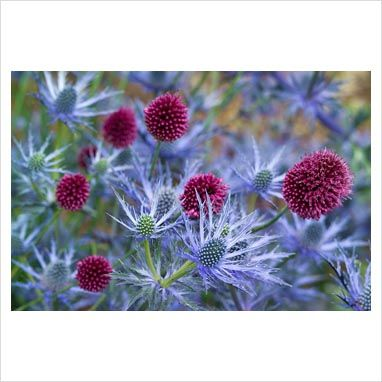 Blue and Purple - Sea Holly and Drumstick Allium