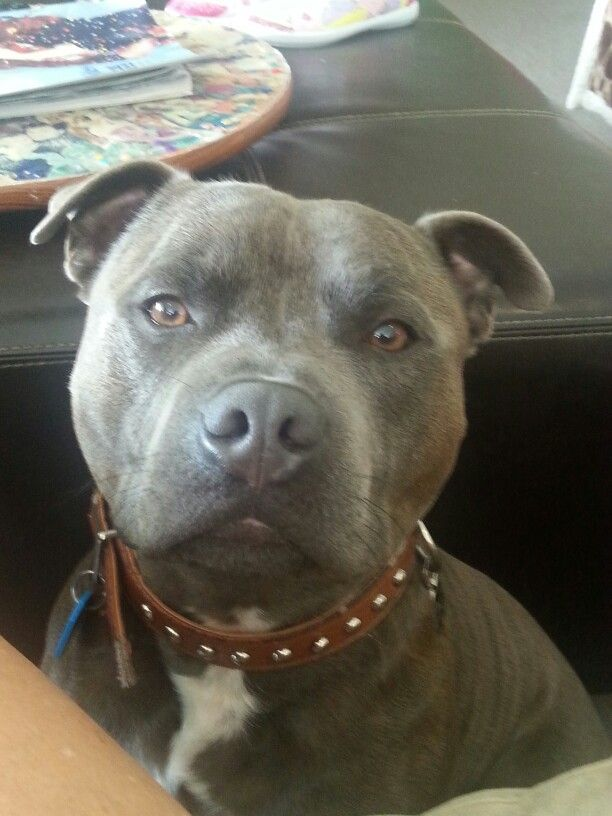 1000+ images about Pitbulls, Best Breed EVER!!!! on ...