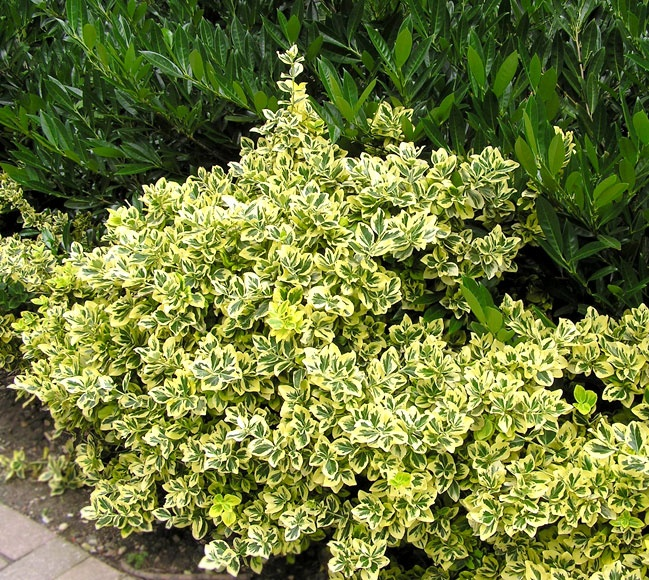 Gardenia Radicans Variegata: 40 Best Tropical Hedging And Screening Plants Images On
