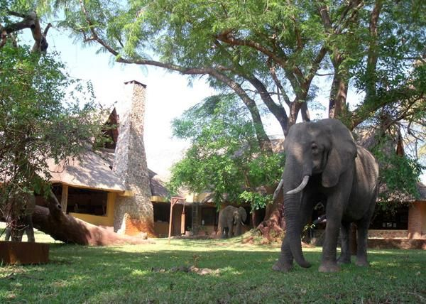 elephant visiting Mfuwe Lodge #ZambiaSafari #Safari2AfricaTravel