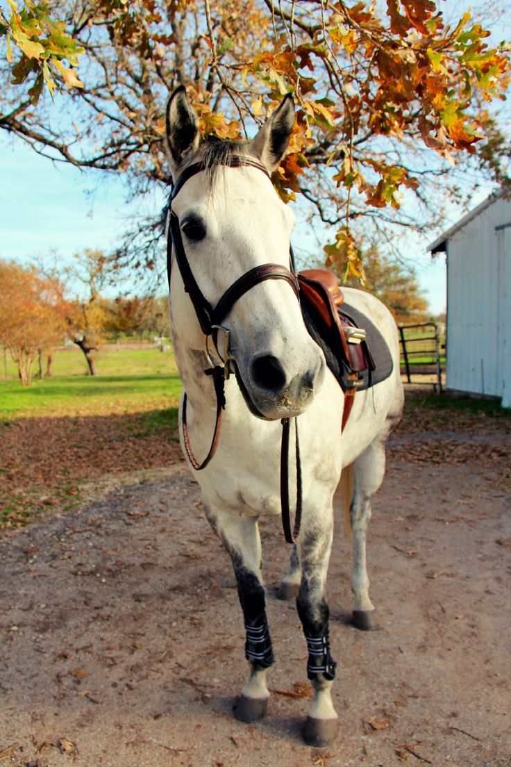 Imperatore horse vans for sale - The Dressage Moo