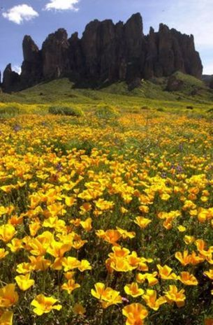 Mexican Gold poppies blanket the landscape near the base of the Superstition Mountains near the Lost Dutchman State Park.
