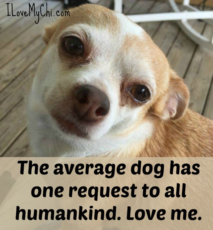 20 Chihuahua Memes That Will Make You Cry Chihuahua Dogs