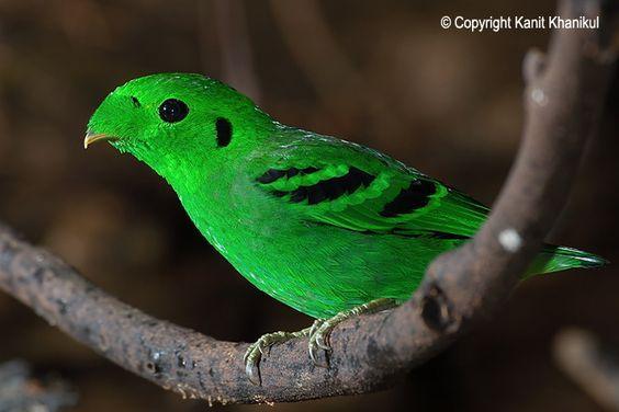 De kleine smaragdbreedbek (Calyptomena viridis) is een zangvogelsoort uit de familie breedbekken en hapvogels (Eurylaimidae).De vogel is ongeveer 20 cm lang[2]. Mannetje en vrouwtje verschillen onderling, het mannetje is glanzend groen met zwarte strepen op de vleugel het vrouwtje oogt doffer en heeft geen zwart patroon in het verenkleed. Het heeft een brede, met veren bedekte snavel en een korte, afgeronde staart. Het is de kleinste van de drie soorten smaragdbreedbekken.