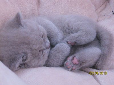 That little pink pad is precious. Lilac British kitten.