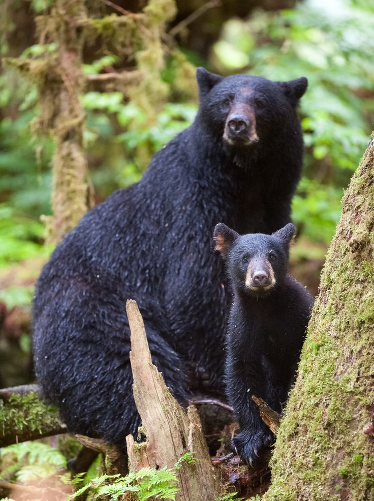 A Mother And Baby Black Bear Cub Spotted In The Smoky