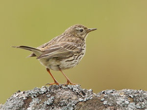 Surveying the land - Meadow pipit