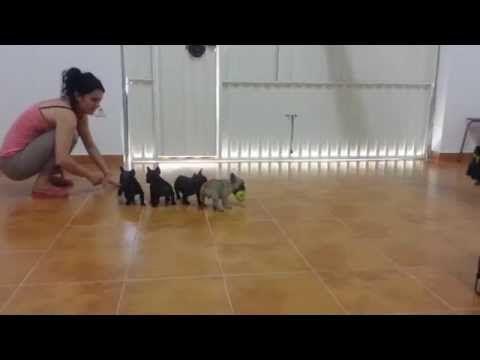 Cachorros de Bulldog frances con 46 dias COTE BASQUE - YouTube