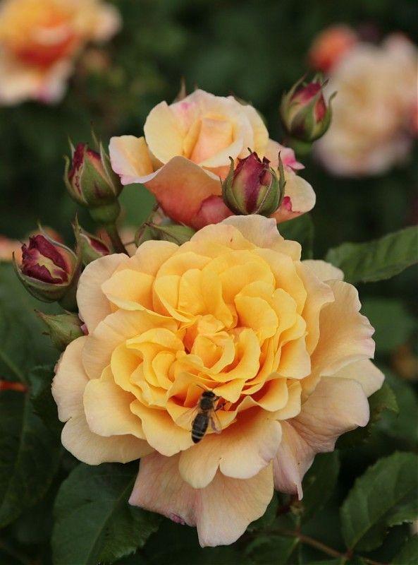 ~Shrub Rose: Rosa 'Caramella' (Germany, before 2000)~