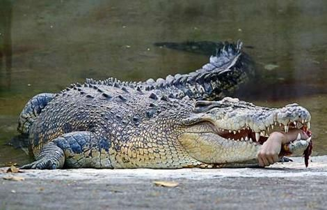 Saltwater Crocodile - Yep, believe it or not this image is REAL. It was taken at a zoo in Taiwan in 2007 after a crocodile severed the hand of the vet treating him. Amazingly, other staff managed to retrieve the limb after scaring the croc with gunfire and it was later reattached. Saltwater crocodiles are one of the deadliest animals on the planet, with numerous deaths reported throughout the world every year.