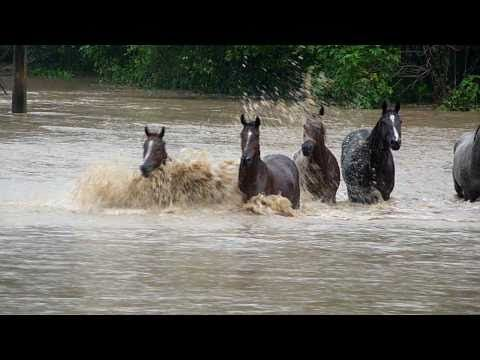 Race #Horses swim for survival #Australia #Floods - YouTube