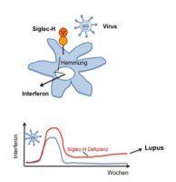 FAU-Wissenschaftler haben herausgefunden, dass Virusinfektionen die Autoimmunkrankheit Lupus verursachen können, und zwar durch Botenstoffe des Immunsystems, deren Produktion nach überstandener Infektion nicht wieder gesenkt wird. (Bild: Lars Nitschke)