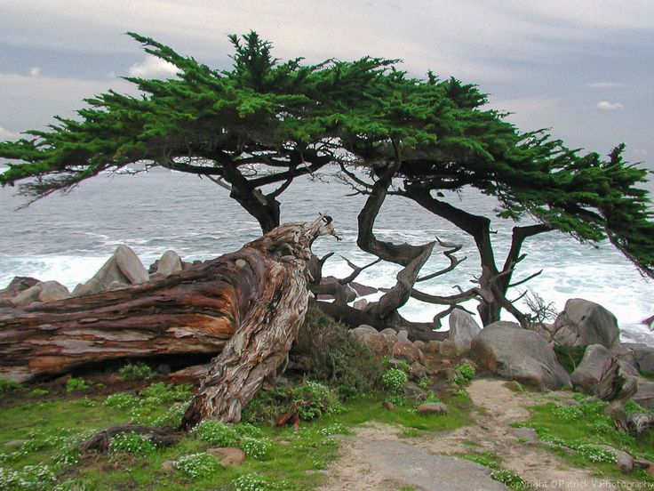 1000 Images About Cypress Monterey On Pinterest Wedding Posters Watercolor Artists And Search