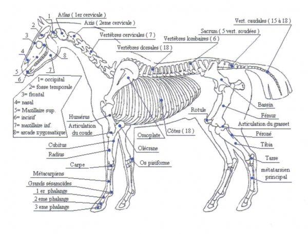 Favori Les 73 meilleures images du tableau Squelette cheval sur Pinterest  SQ07