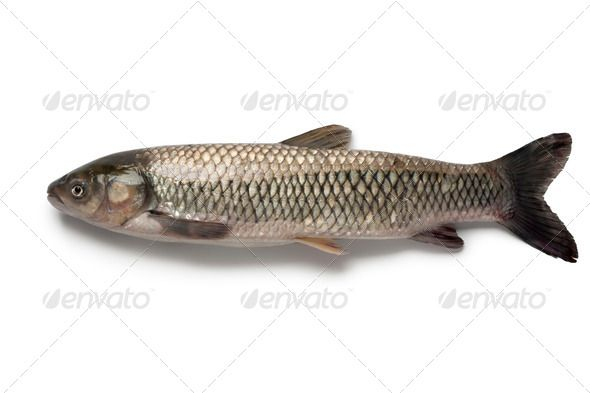 Realistic Graphic DOWNLOAD (.ai, .psd) :: http://hardcast.de/pinterest-itmid-1006607526i.html ... Whole single grass carp ...  Ctenopharyngodon idella, fish, food, fresh, freshwater fish, grass carp, herbivorous, one, raw, seafood, single, studio, white amur, white background  ... Realistic Photo Graphic Print Obejct Business Web Elements Illustration Design Templates ... DOWNLOAD :: http://hardcast.de/pinterest-itmid-1006607526i.html