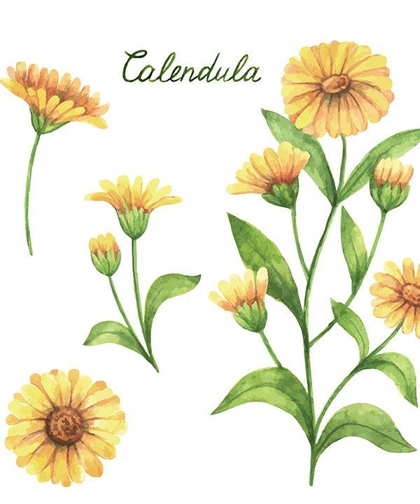 Calendula Planta Medicinal Con Grandes Beneficios En 2020