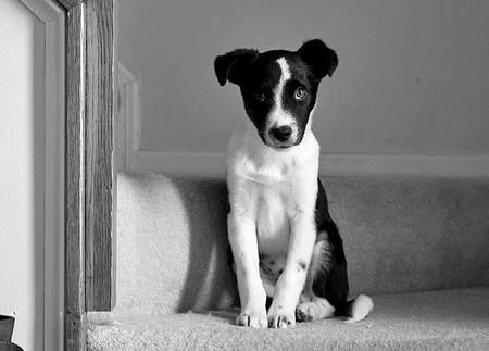"Scout the Border Collie/Jack Russell Terrier mix-How sweet is he! This little guy was rescued from being put down just because he isn't ""purebred"". That would have been a loss! Glad he was saved!"