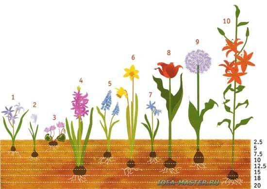 Какие растения размножаются луковицами, примеры растений?
