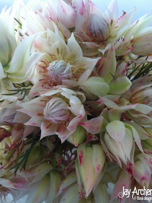Blushing Bride Protea. I love the colors and texture these offer. So pretty!