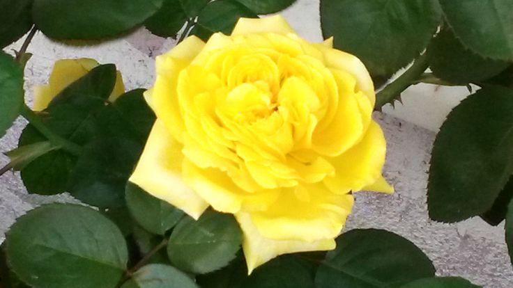 sarı gül, yellow rose