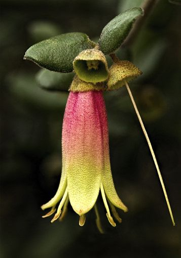 Dusky Bell | Australian native flower known as Correa Reflexa or dusky bell. Attracts small honeyeaters | by redpoppy2