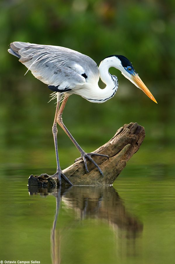 The Cocoi Heron (Ardea cocoi) is very similar to the Great Blue Heron of North America. They are common in the Pantanal and widespread through much of South America. We found this one perched on an open water stump, trying to catch a fish for the evening, during my last jaguar photo tour to the Pantanal.