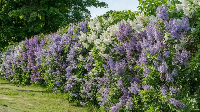 How To Create A Beautiful Loose Border Living Fence In 2020 Hedges Landscaping Living Fence Hedges